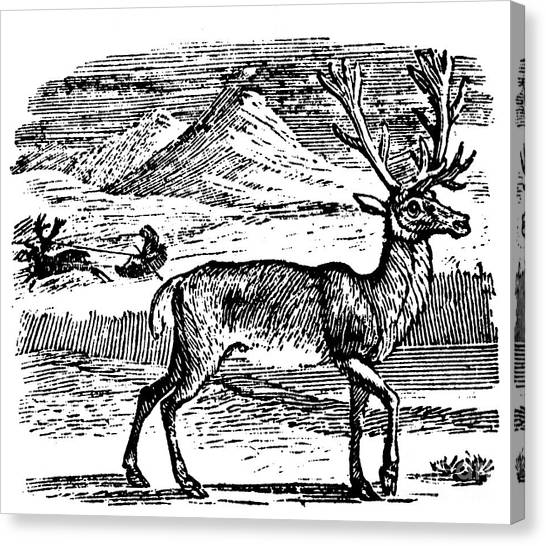 Sleds Canvas Print - Reindeer/caribou by Granger