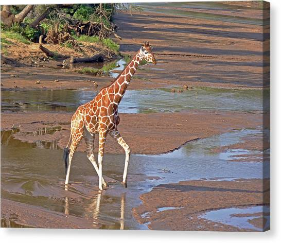 Reticulated Giraffe Canvas Print