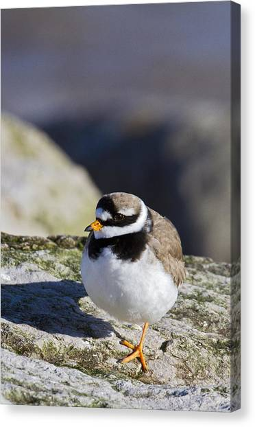 Ringed Plover Canvas Print