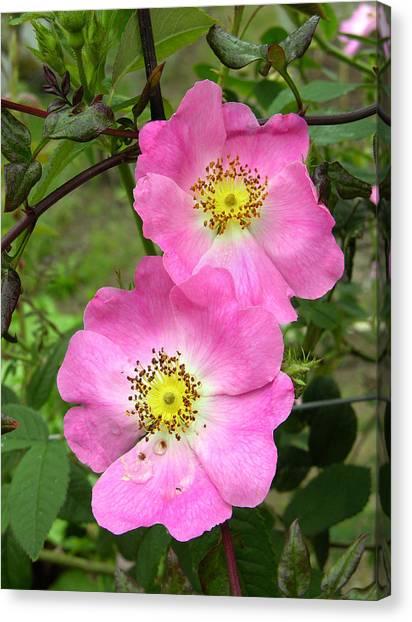 Roses (rosa Sp.) Canvas Print by Tony Craddock