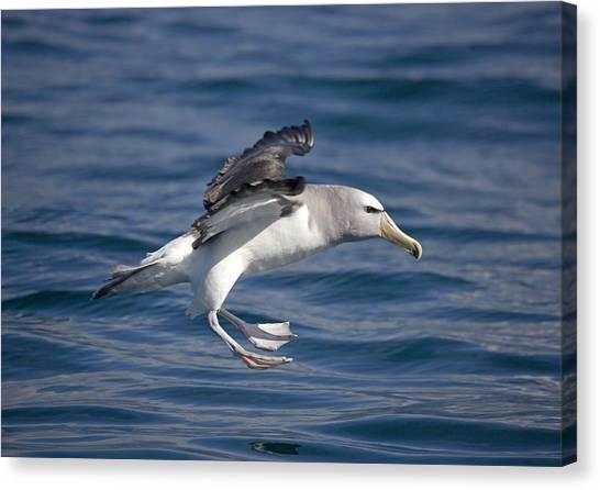 Kaikoura Canvas Print - Salvin's Albatross by Bob Gibbons