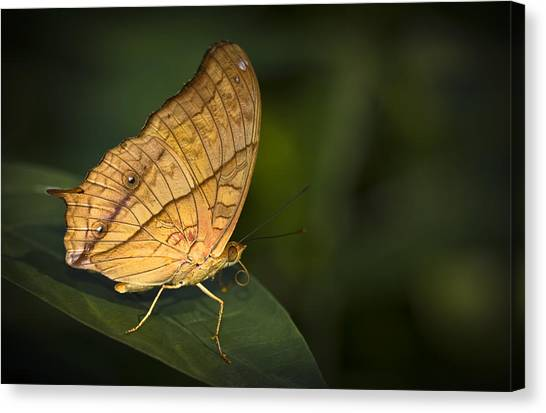 Saturn Butterfly Canvas Print