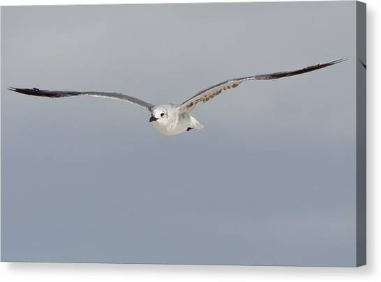 Sea Gull In Flight Canvas Print by Mike Rivera