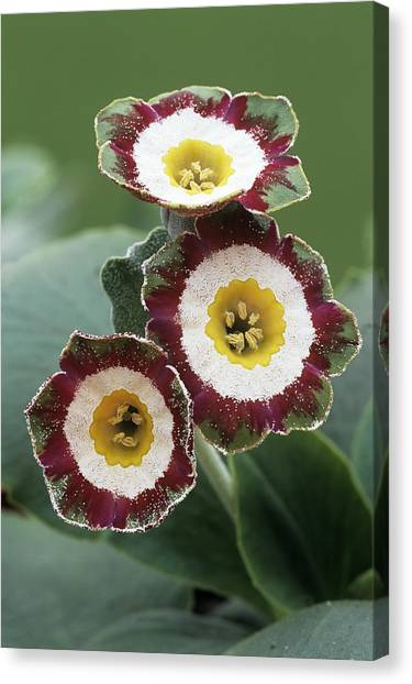 Show Auricula 'astolat' Flowers Canvas Print by Archie Young