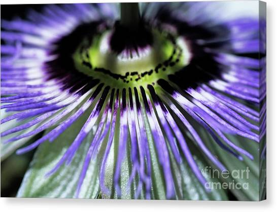 Passionflower Canvas Print - Stamen Of A Passionflower by Sami Sarkis