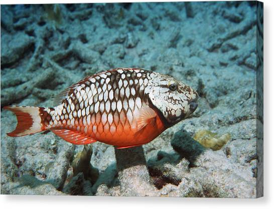 Stoplights Canvas Print - Stoplight Parrotfish by Georgette Douwma
