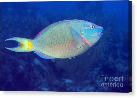 Stoplights Canvas Print - Stoplight Parrotfish On Caribbean Reef by Karen Doody