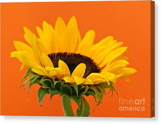 Sunflowers Canvas Print - Sunflower Closeup by Elena Elisseeva