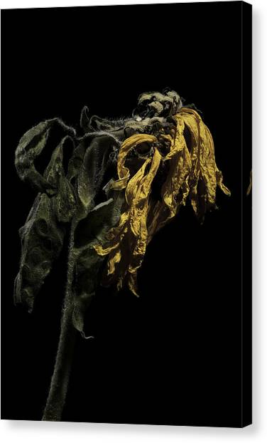 Sunflower Canvas Print by Nathaniel Kolby