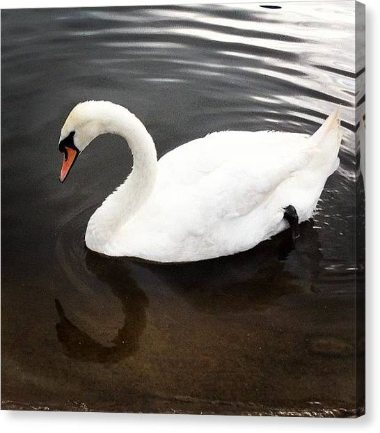 Swans Canvas Print - Swan by Rachel Williams