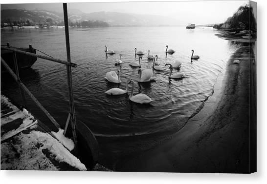 Swans On River Danube Canvas Print by Tibor Puski