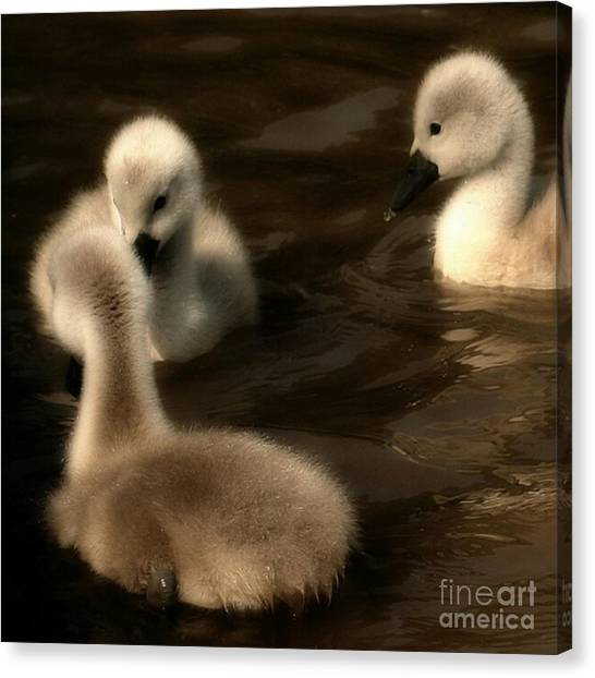 Swans Canvas Print - They Called You An Ugly What by YoursByShores Isabella Shores