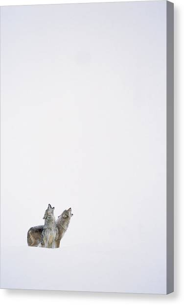 Howling Wolves Canvas Print - Timber Wolf Pair Howling In Snow North by Tim Fitzharris