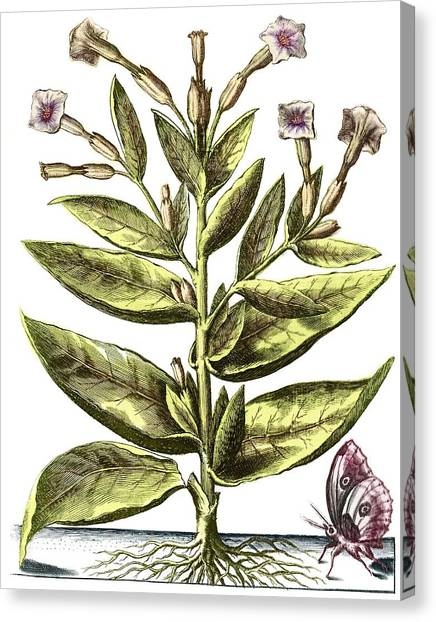Tobacco Plant, 17th Century Artwork Canvas Print by Middle Temple Library