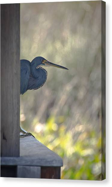 Tricolored Heron Canvas Print by Bill Martin