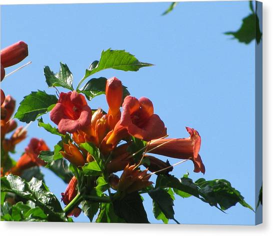 Trumpet Vine Canvas Print by Alfred Ng