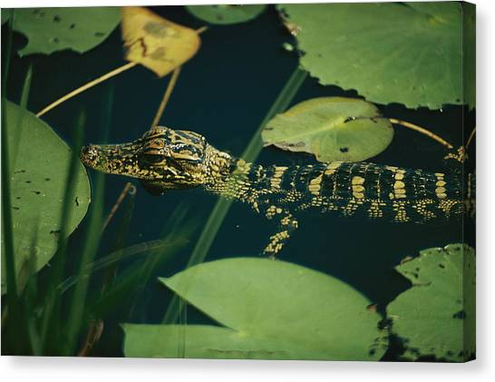Okefenokee Canvas Print - Untitled by Farrell Grehan