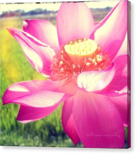 Vietnamese Canvas Print - Vietnamese Lotus Flower by Jillian Connolly