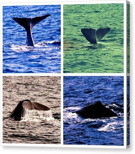 Whales Canvas Print - #whalesafari #whales #norway #norwegian by Anna P
