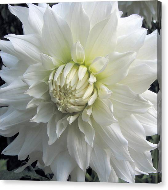 White Dahlia Beauty Canvas Print