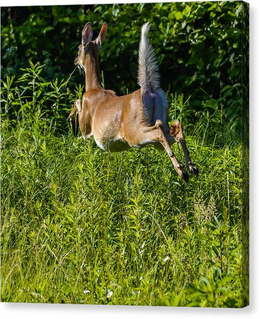 White-tailed Deer Canvas Print by Brian Stevens