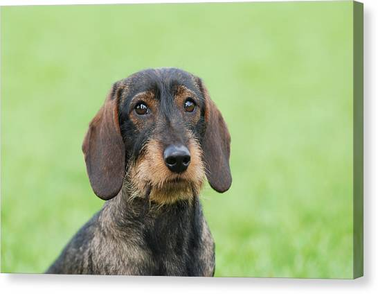 Wire-haired Dachshund Dog  Canvas Print by Waldek Dabrowski