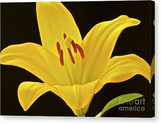 Yellow Lily Canvas Print by Mihaela Limberea