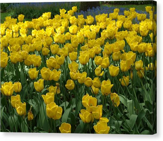 Yellow Tulips 2 Canvas Print by Larry Krussel