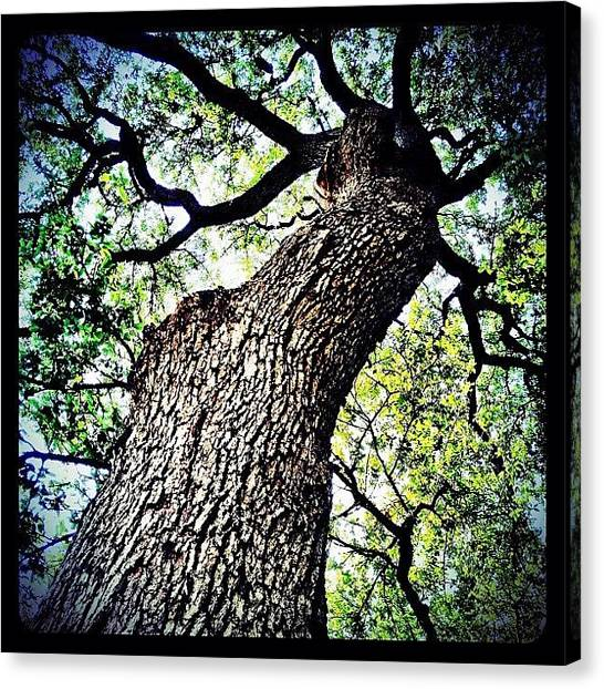 Texas Canvas Print - Looking Up by Natasha Marco