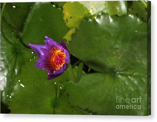 Cape Lily Canvas Print - Waterlily Opening Part Of A Series by Ted Kinsman