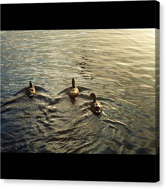 Lake Sunrises Canvas Print - 100% Natural. Duckies :d #ducks #birds by Elbashir Idris