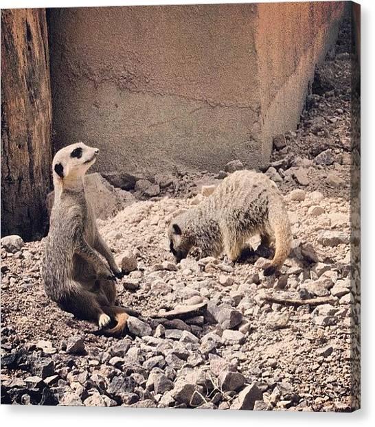 Meerkats Canvas Print - Instagram Photo by Markus Kantonen