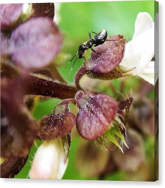 Ants Canvas Print - #nature #macro #macroworld by Sooonism Heng