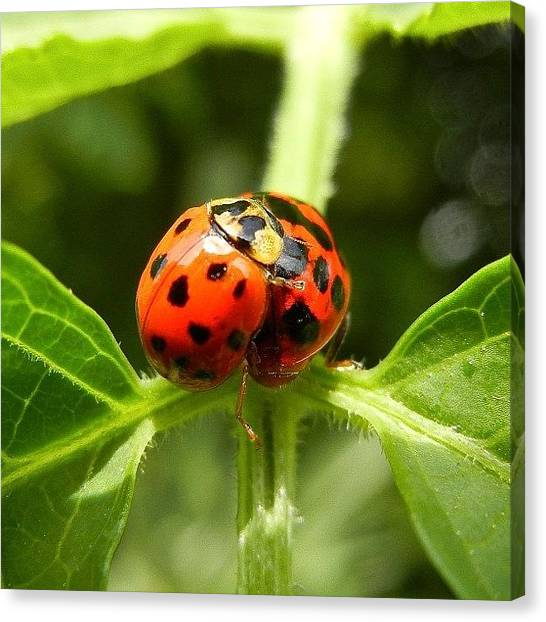 Ladybugs Canvas Print - #webstagram #bestoftheday #picoftheday by Tanya Sperling