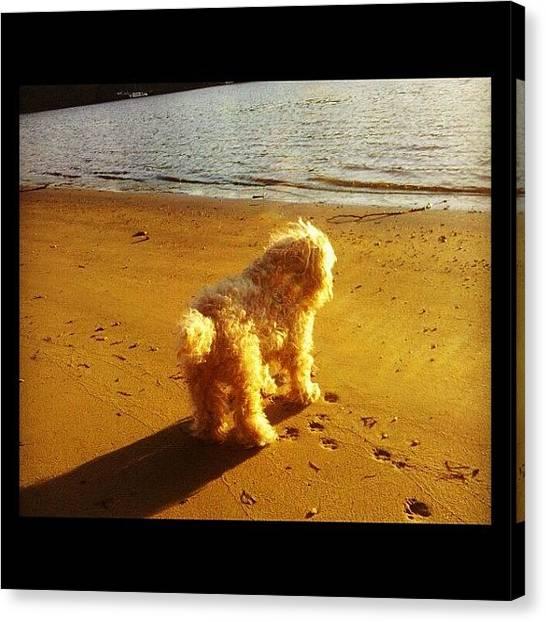 Poodles Canvas Print - Instagram Photo by Kim Cafri