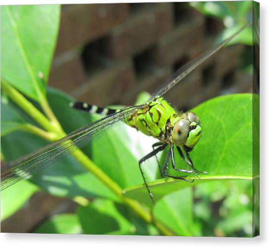 Dragonfly Canvas Print by Michele Caporaso