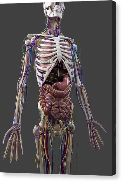 Human Anatomy, Artwork Canvas Print by Sciepro