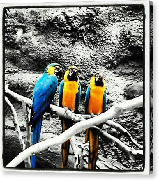 Macaws Canvas Print - Instagram Photo by Bryan P