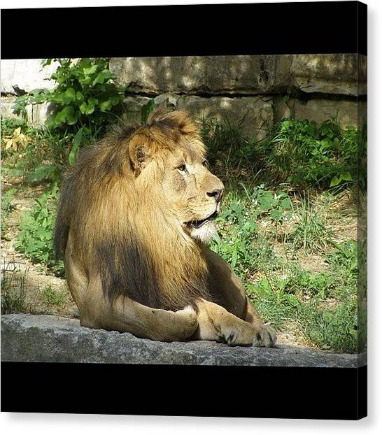 Lions Canvas Print - Instagram Photo by Harold Coombs III