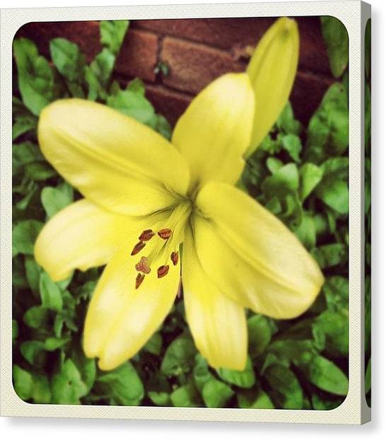 Lilies Canvas Print - 1st Lily #igaddict #iphoneonly #hove by Richard Freeman