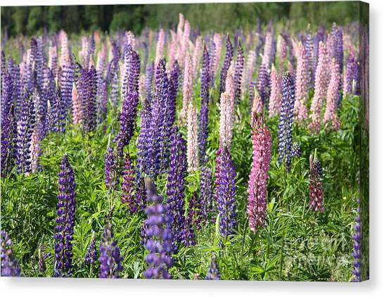 Cabot Trail Canvas Print - A Field Of Lupins by Ted Kinsman