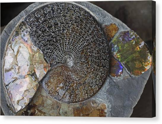 Ammonite Fossil Canvas Print by Dirk Wiersma