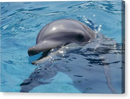 Bottlenose Dolphins Canvas Print - Bottlenose Dolphin by Alexis Rosenfeld
