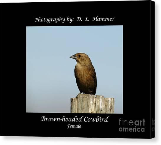 Brown-headed Cowbird Canvas Print by Dennis Hammer