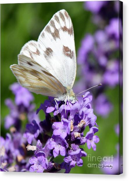 Sulfur Butterfly Canvas Print - Butterfly And Flower by Steve Javorsky