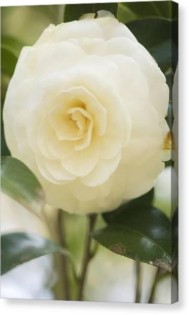 Camellia Japonica Canvas Print by Maria Mosolova