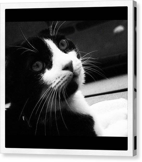 Kittens Canvas Print - Cat Portrait  by Rachel Williams