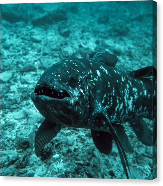 Coelacanth Fish Canvas Print by Peter Scoones