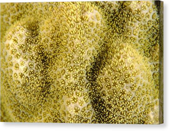 Coral Canvas Print by Alexis Rosenfeld