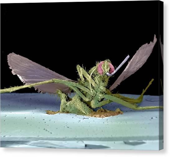 Dead Fly, Sem Canvas Print by Volker Steger